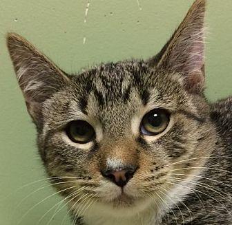 Domestic Shorthair Kitten for adoption in Auburn, California - Shane aka Wishbone