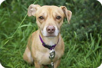 Beagle/Chihuahua Mix Dog for adoption in Los Angeles, California - Lolo