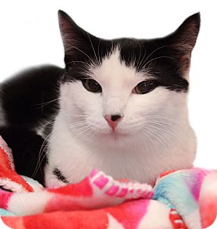 Domestic Shorthair Cat for adoption in Wayne, New Jersey - Brinley