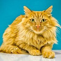 Adopt A Pet :: Tooley - Chandler, AZ