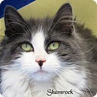 Adopt A Pet :: Shamrock - Jackson, NJ