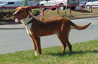 Hound (Unknown Type) Mix Dog for adoption in Somers, Connecticut - Zack