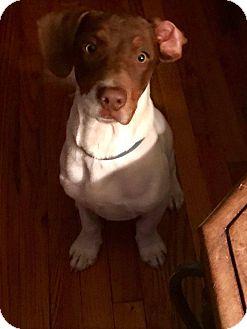 German Shorthaired Pointer/Dachshund Mix Puppy for adoption in Albany, New York - Fletcher