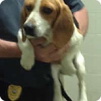 Adopt A Pet :: Jude - Avon, NY
