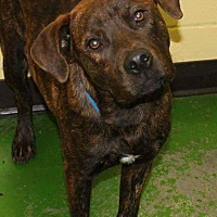 Plott Hound Mix Puppy for adoption in Memphis, Tennessee - Pete