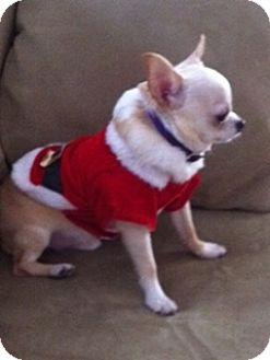 Chihuahua Dog for adoption in Saranac Lake, New York - Sikima ***Courtesy Posting***