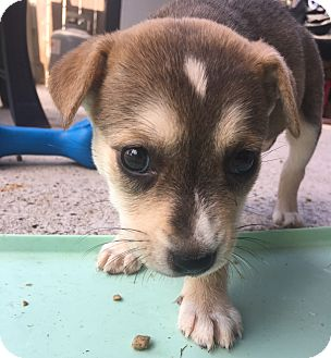 Terrier (Unknown Type, Medium) Mix Puppy for adoption in Vancouver, British Columbia - Hermione