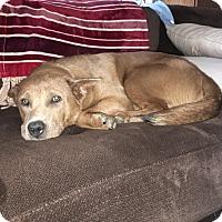Adopt A Pet :: Beau - Davenport, IA