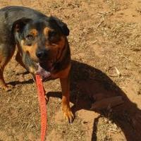 Adopt A Pet :: Winston - Las Cruces, NM