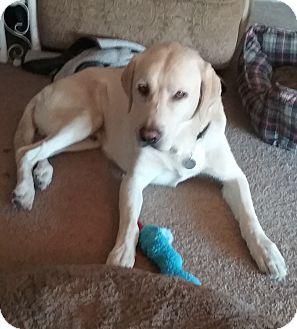 Labrador Retriever Dog for adoption in Phoenix, Arizona - Zeus