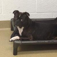 Boston Terrier Mix Dog for adoption in Miami, Florida - Bam Bam