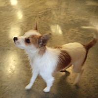 Adopt A Pet :: Cocoa # 1146X - Nixa, MO