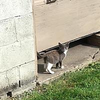 Adopt A Pet :: Kitten - Sebring, Ohio - Alliance, OH
