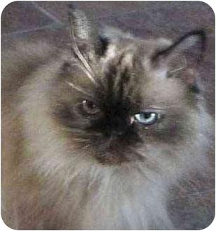 Himalayan Cat for adoption in Davis, California - Chloe