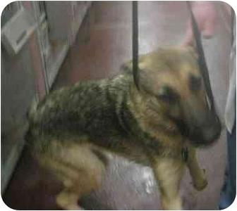 German Shepherd Dog Dog for adoption in Dripping Springs, Texas - Greta Garbo