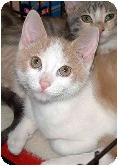 Domestic Shorthair Kitten for adoption in Honesdale, Pennsylvania - Stewy