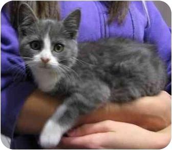 Domestic Shorthair Kitten for adoption in Okotoks, Alberta - Lily