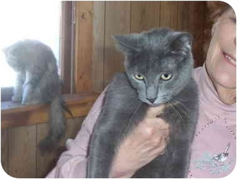 Domestic Shorthair Cat for adoption in Brazil, Indiana - Rugrat