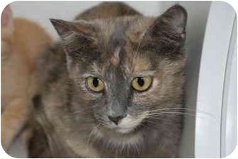 Domestic Shorthair Cat for adoption in Putnam Hall, Florida - Mallory