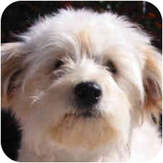Bichon Frise Mix Puppy for adoption in La Costa, California - Skipper