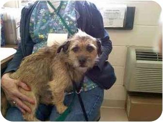 Wirehaired Fox Terrier/Yorkie, Yorkshire Terrier Mix Dog for adoption in Harrisonburg, Virginia - Spike