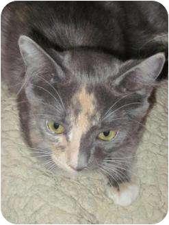 Calico Kitten for adoption in Panama City Beach, Florida - Francesca