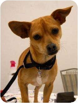 Chihuahua Mix Dog for adoption in Palmdale, California - Ruby