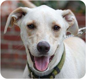 Labrador Retriever Mix Dog for adoption in Brooklyn, New York - Grover