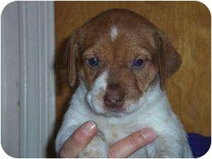 Labrador Retriever/German Shorthaired Pointer Mix Puppy for adoption in Shawnee Mission, Kansas - Brownie