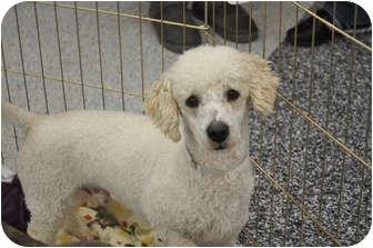 Poodle (Miniature) Mix Dog for adoption in Tumwater, Washington - Charlie