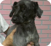 Schnauzer (Miniature) Dog for adoption in St. Petersburg, Florida - Reagan