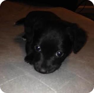 Tibetan Terrier Mix Puppy for adoption in Hainesville, Illinois - Little Hope