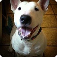 Adopt A Pet :: Tyson - Sachse, TX