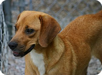 Beagle Mix Dog for adoption in Pinehurst, North Carolina - Brownie