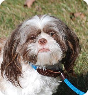Shih Tzu Dog for adoption in Providence, Rhode Island - Sammy