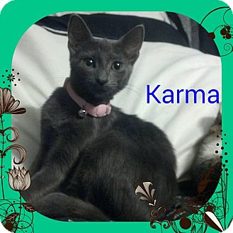 Domestic Shorthair Kitten for adoption in Newnan, Georgia - Karma
