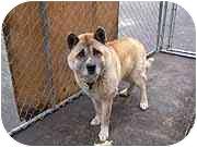 Akita Dog for adoption in Chicago, Illinois - Keno