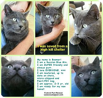 Russian Blue Cat for adoption in Santa Clarita, California - Boomer