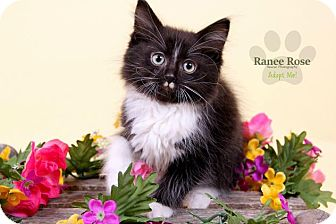 Domestic Mediumhair Kitten for adoption in Sterling Heights, Michigan - Guinness-ADOPTED