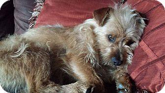Cairn Terrier/Norfolk Terrier Mix Dog for adoption in Cincinnati, Ohio - Griffin
