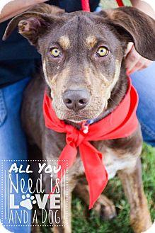 Australian Kelpie/Flat-Coated Retriever Mix Puppy for adoption in DFW, Texas - Trevor