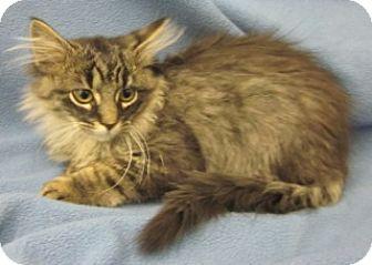 Domestic Mediumhair Kitten for adoption in Olive Branch, Mississippi - Dunn