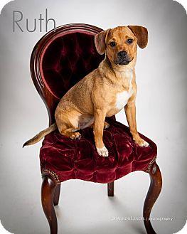 Pug/Beagle Mix Dog for adoption in Chicago, Illinois - Ruth
