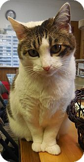 Domestic Shorthair Cat for adoption in Anchorage, Alaska - Lily