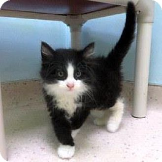 Domestic Shorthair Kitten for adoption in Janesville, Wisconsin - Lincoln
