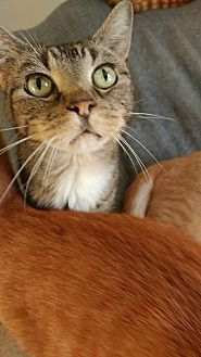 Domestic Shorthair Cat for adoption in Clarkson, Kentucky - Mouse