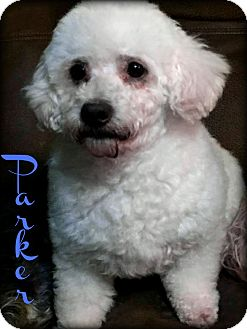 Miniature Poodle Dog for adoption in Phoenix, Arizona - PARKER