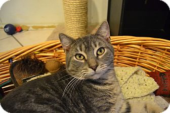 Domestic Shorthair Cat for adoption in Broadway, New Jersey - Pinky