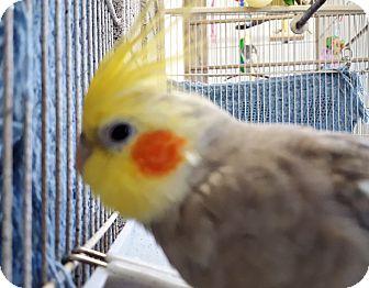 Cockatiel for adoption in Grandview, Missouri - Zachary