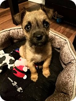 Terrier (Unknown Type, Small)/Chihuahua Mix Puppy for adoption in Sugar Grove, Illinois - Benji